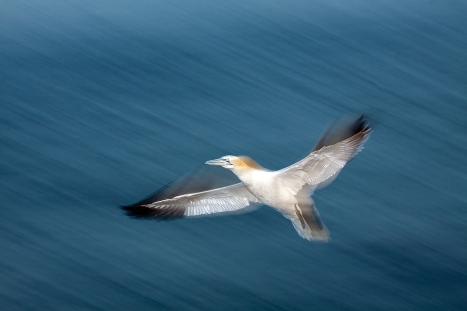 A Northern Gannet (Morus bassanus) in flight.  Canon 50D, Canon EF 70-200mm f/4.0 L USM, 1/15, f/11, iso 200, flash, handheld.