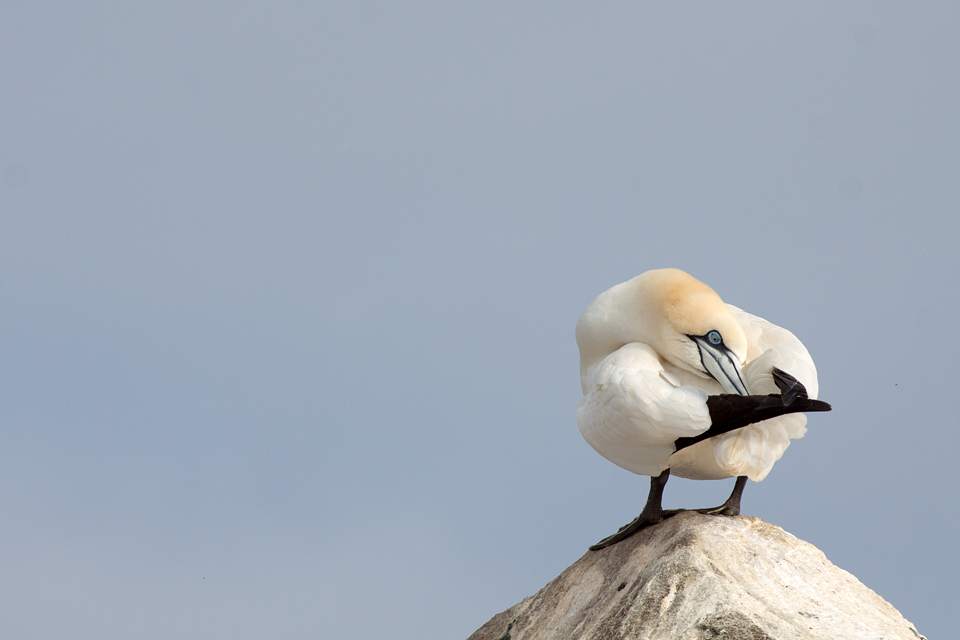 A Northern Gannet (Morus bassanus) arranging its feathers.  Canon 50D, Canon EF 400mm f/5.6 L USM, 1/640, f/8, iso 100, handheld.