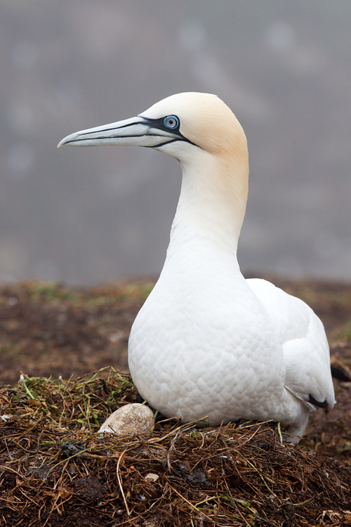Nest of a Northern Gannet (Morus bassanus). Canon 50D, Canon EF 70-200mm f/4.0 L USM, 1/500, f/5.6, iso 160, handheld.