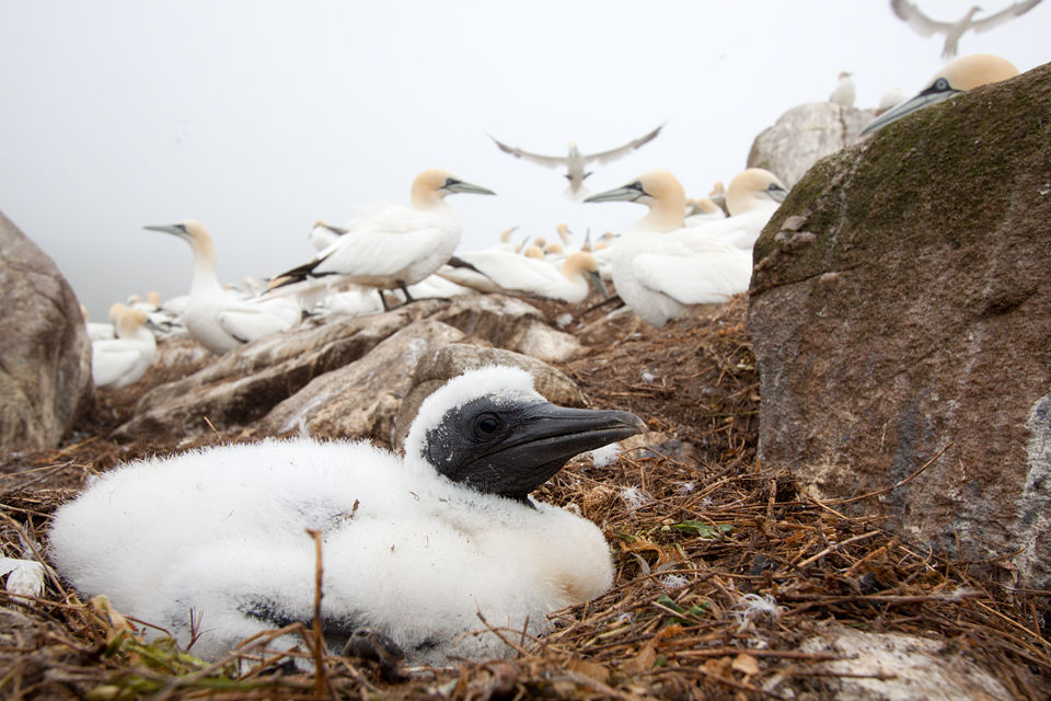 A fluffy chick of a Northern Gannet (Morus bassanus).  Canon 50D, Canon EF-S 10-22mm f/3.5-4.5 USM, 1/125, f/9, iso 160, handheld.