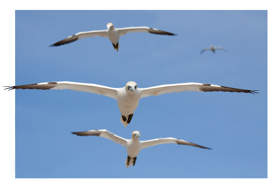 Gannets in flight. Stacked photo: Canon 50D, Canon EF 70-200mm f/4.0 L USM, 1/2000, f/5.6, iso 200, handheld.