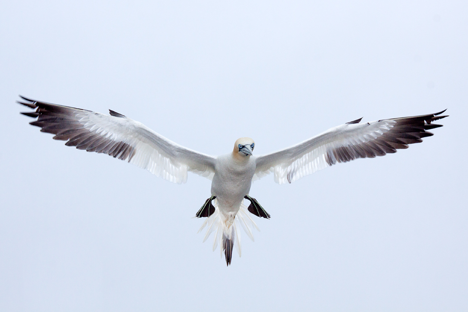 A Gannet ready to land. Canon 50D, Canon EF 70-200mm f/4.0 L USM, 1/250, f/11, iso 320, flash, handheld.