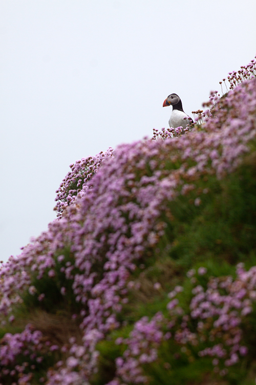 An Atlantic Puffin (Fratercula arctica) in a sea of thrift (Armeria maritima). Canon 50D, Canon EF 400mm f/5.6 L USM, 1/500, f/8, iso 125, handheld.