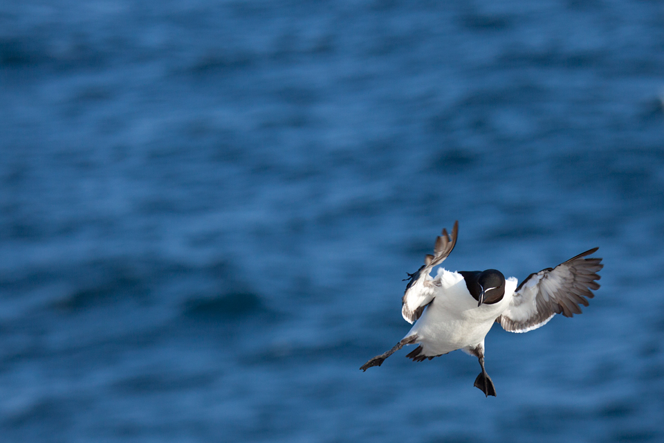A Razorbill (Alca torda) about to land. Canon 50D, Canon EF 70-200mm f/4.0 L USM, 1/2000, f/4, iso 250, handheld.