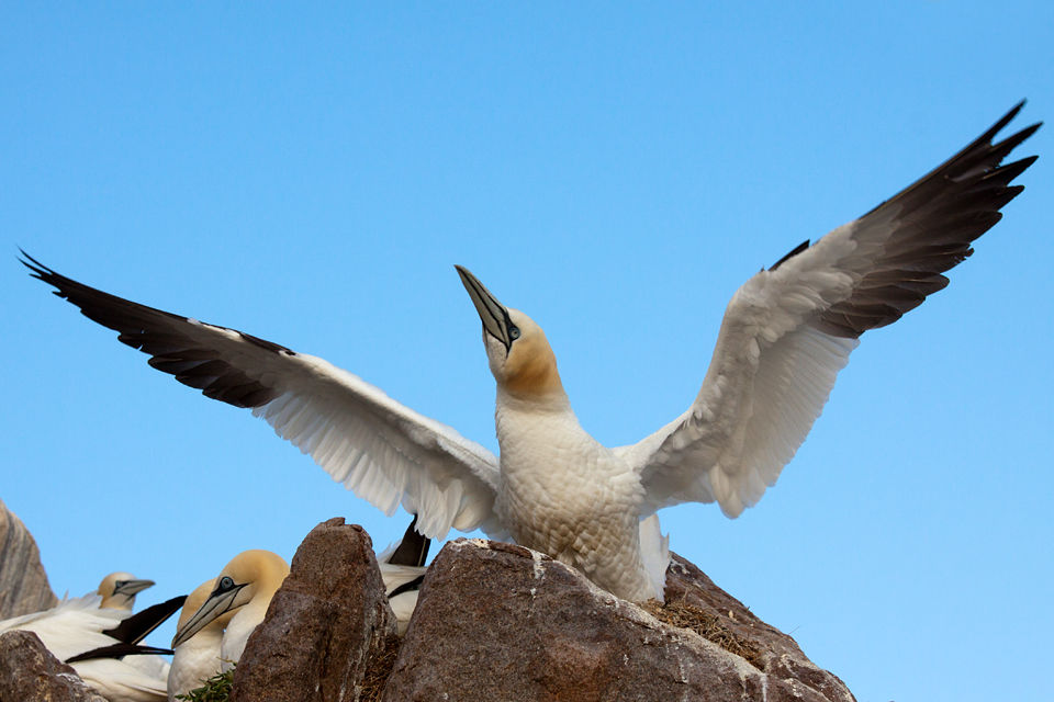A Northern Gannet (Morus bassanus) in a display. Canon 50D, Canon EF 70-200mm f/4.0 L USM, 1/640, f/8, iso 250, handheld.