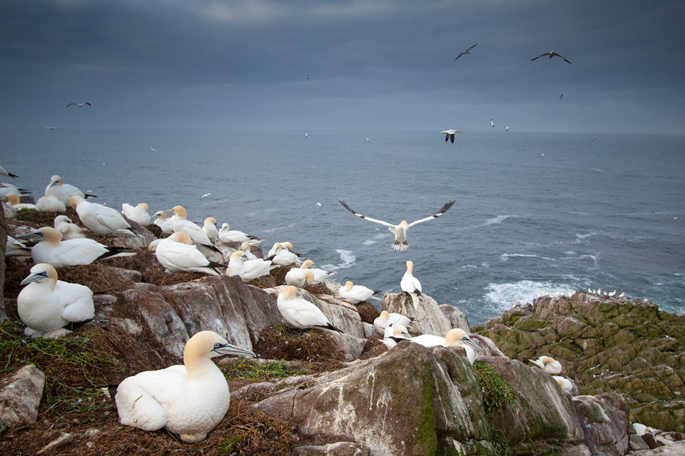 Colony of Gannets at the Atlantic Ocean. Canon 50D, Canon EF-S 10-22mm f/3.5-4.5 USM, 1/400, f/4, iso 250, Cokin Gradual Neutral Grey filter, handheld.