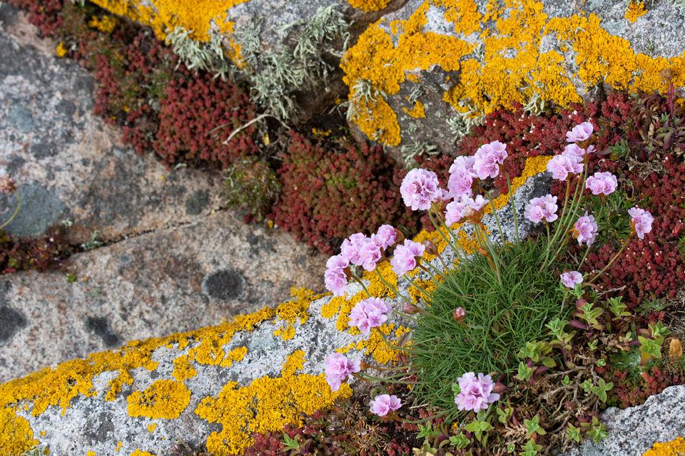Thrift (Armeria maritima), sedum and lichen. Canon 50D, Canon EF 70-200mm f/4.0 L USM, 1/500, f/9, iso 250, handheld.