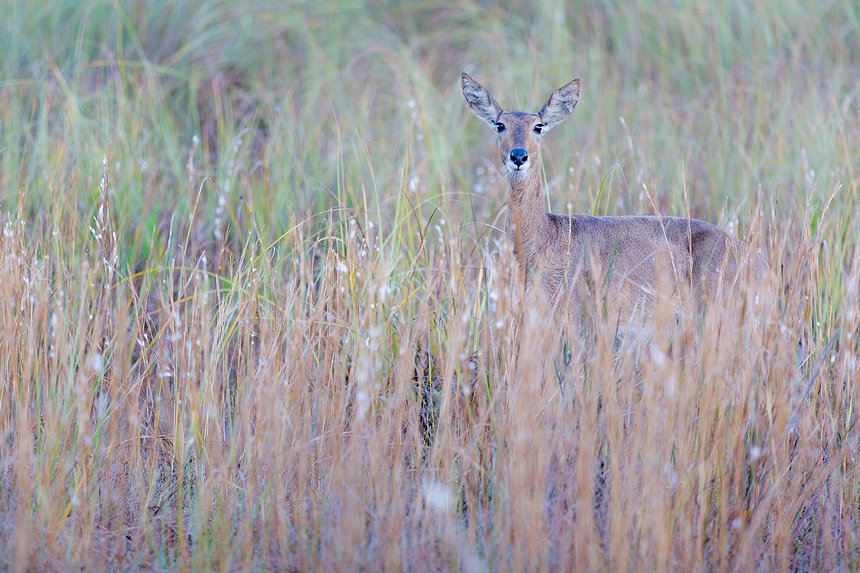 A curious female southern reedbuck (Redunca arundinum) in the early morning light.