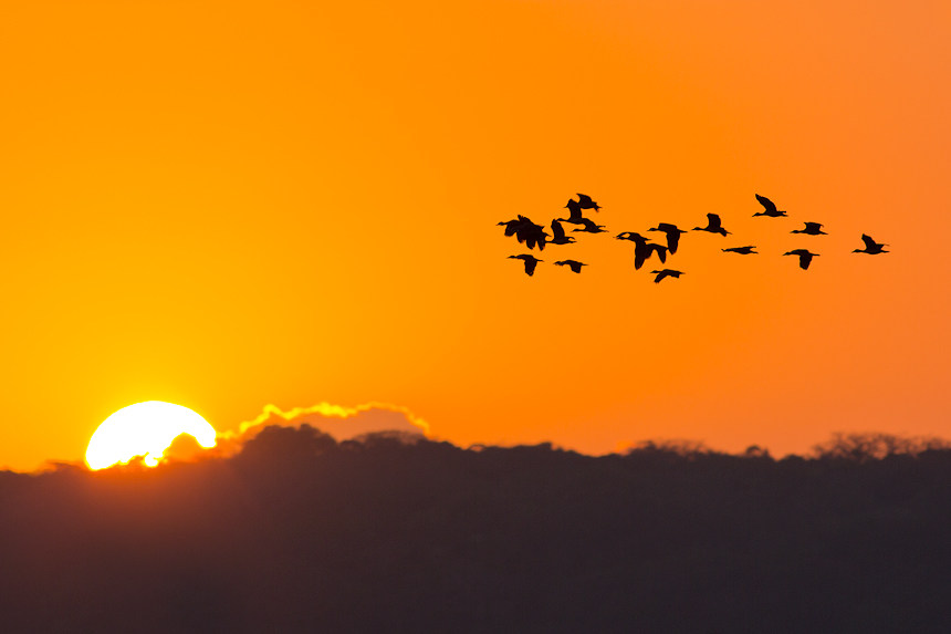 Flying ducks at a typical African sunrise.