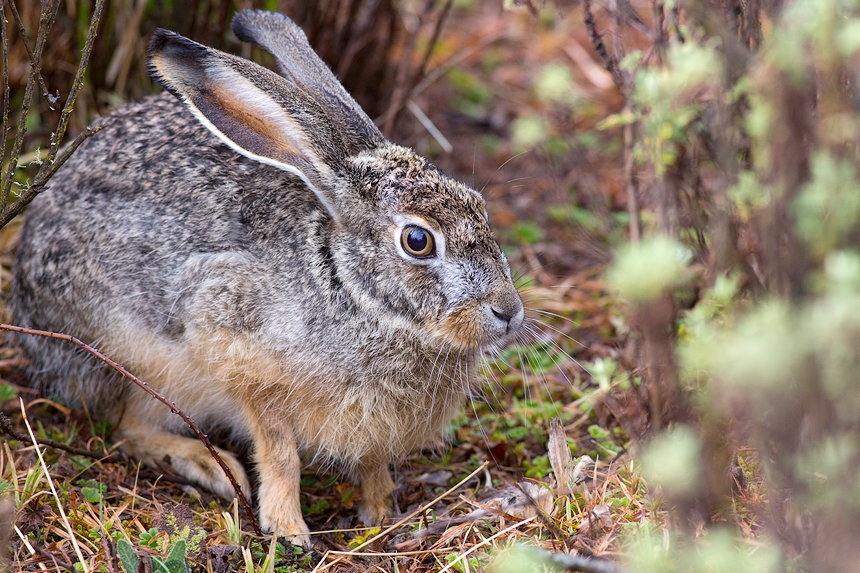 There is wildlife here, if you look closely: like this Ethiopian hare (Lepus fagani)