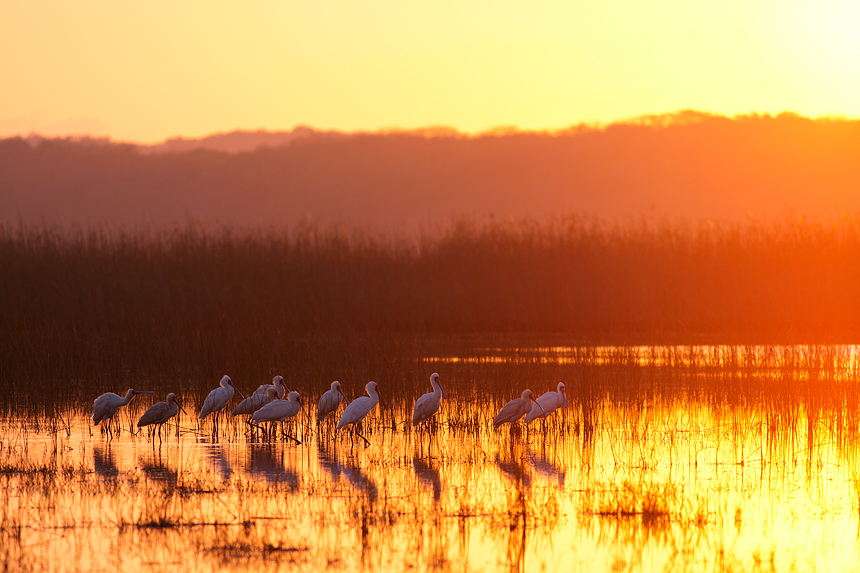 Another one of my personal favorites: African spoonbills (Platalea alba) during a unbelievable intense sunrise.