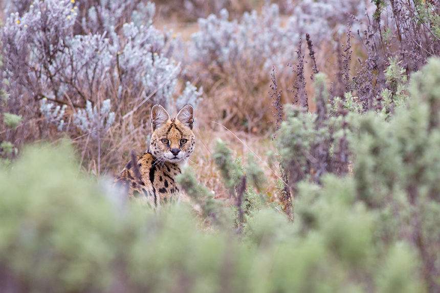 An elusive Serval (Leptailurus serval) at the Gaysay Grasslands
