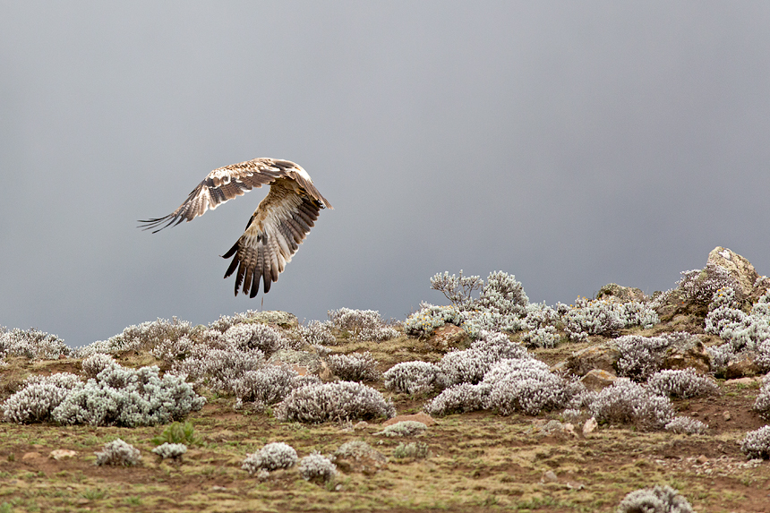 Ethiopian wolves were not the only predators here: a steppe eagle (Aquila nipalensis)
