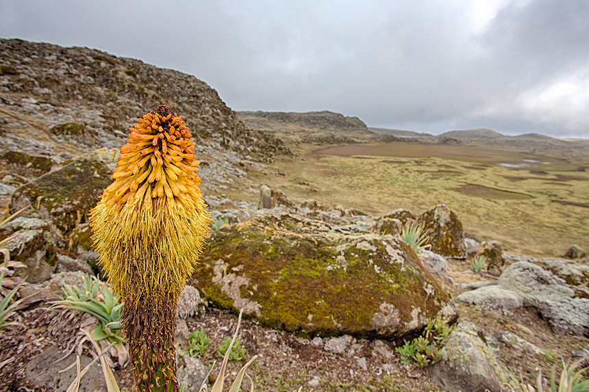 A flowering red-hot poker (Kniphofia sp.) at the Sanetti Plateau