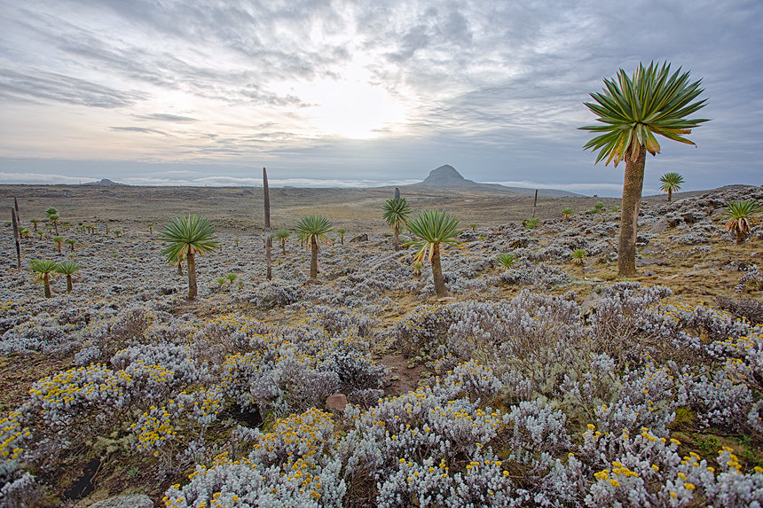 Giant lobelia (Lobelia rhynchopetalum) during sunrise at the Sanetti Plateau