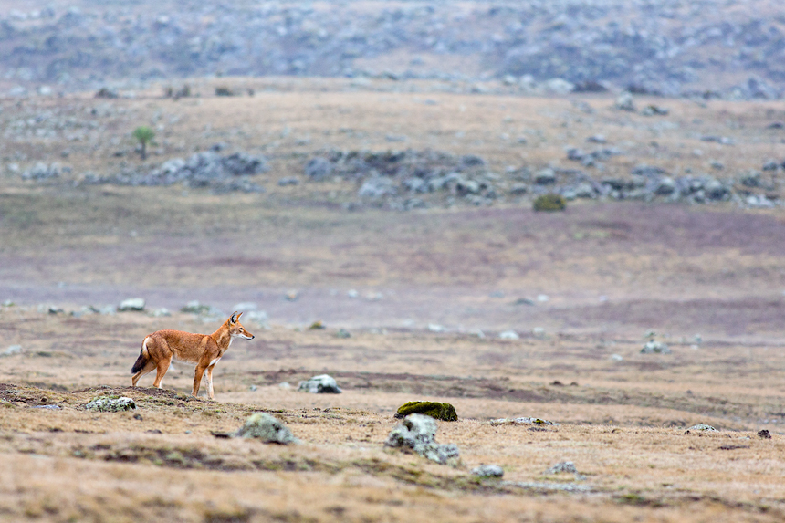 An Ethiopian wolf on the Sanetti Plateau posing like a sentinel watching its territory