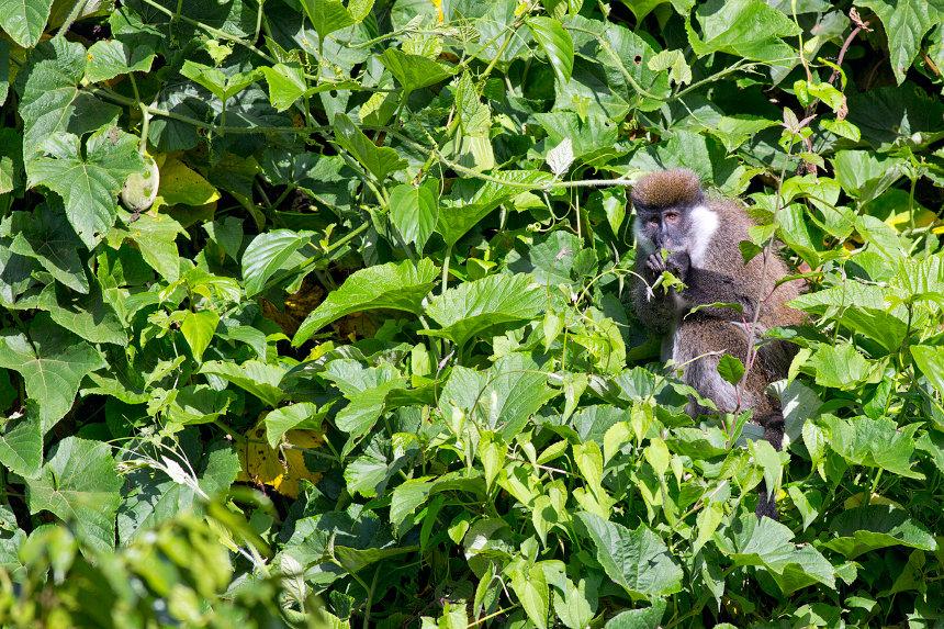 An endemic Bale monkey (Chlorocebus djamdjamensis).