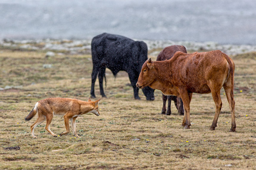 A wolf keeping a eye on some illegal cattle