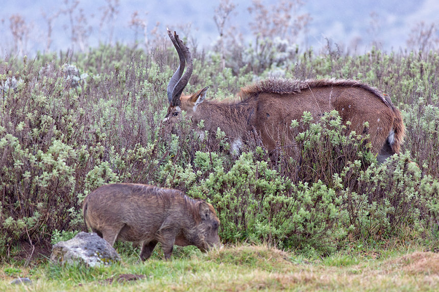 An endemic and endangered mountain nyala (Tragelaphus buxtoni) and warthog (Phacochoerus africanus) are frequently seen at the Gaysay Grasslands