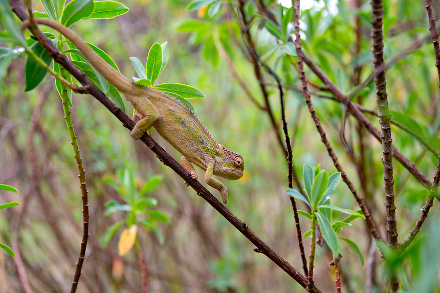 Did that branch move? A chameleon (Chamaeleo sp.) close to Dinsho Lodge