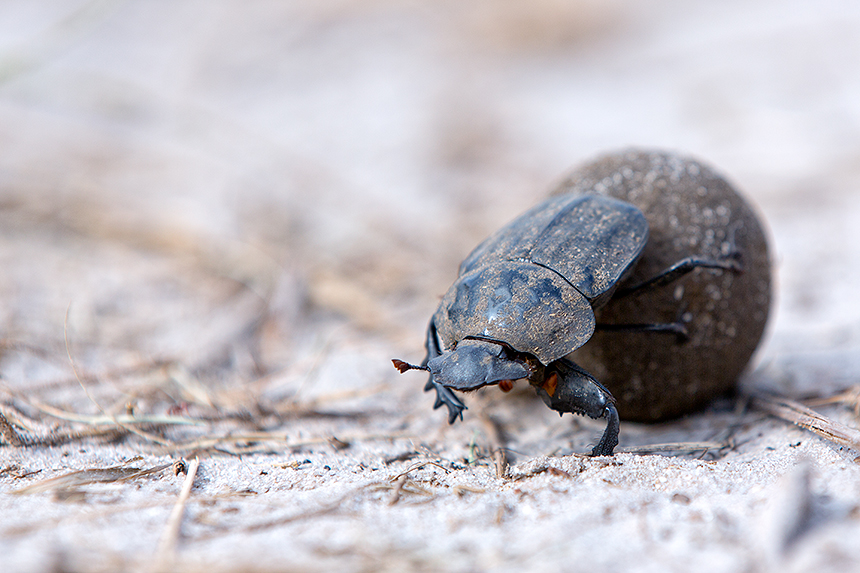 Dung beetle (Scarabaeus sp) with their balls of dung (zebra in this case) play a vital role in this ecosystem.