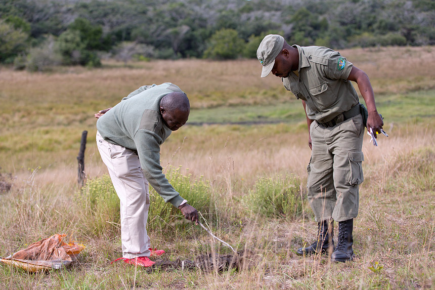 Law Enforcement Coordinator Natercio Ngovene and his collegue going trough the remains of a poached wildebeest.