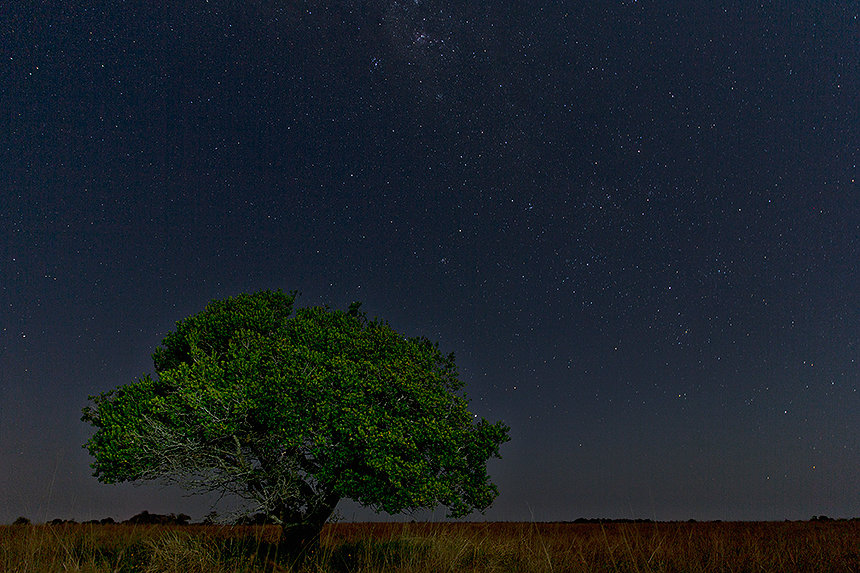 A lone tree in the dune grasslands of Maputo Special Reserve with a star filled night sky.