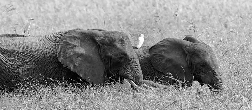 Two African bush elephants (Loxodonta africana) in the elephant grass, carrying the every present cattle egrets.