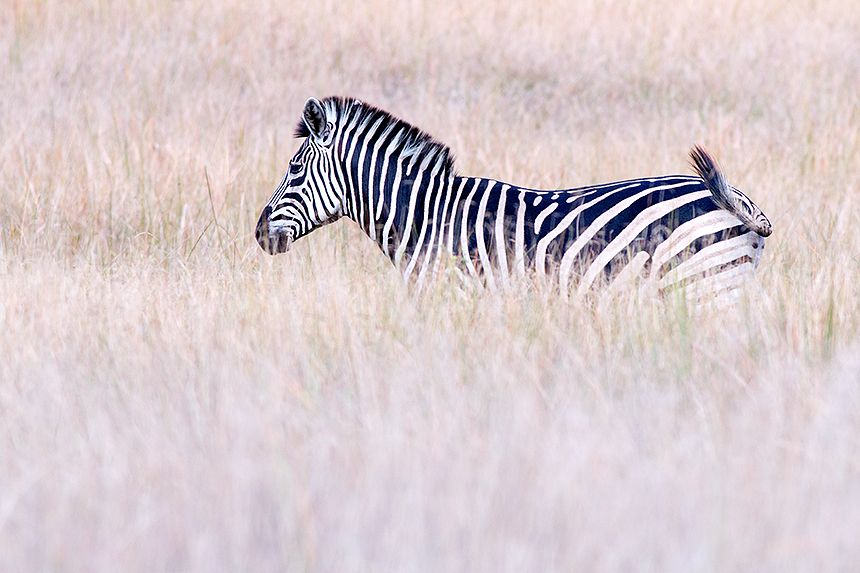 I like the contrast between this zebra and the surrounding soft colours.