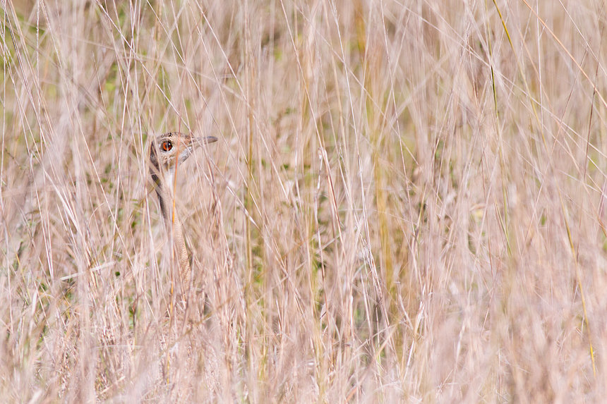 A red-crested korhaan or bustard (Lophotis ruficrista) playing hide and seek.