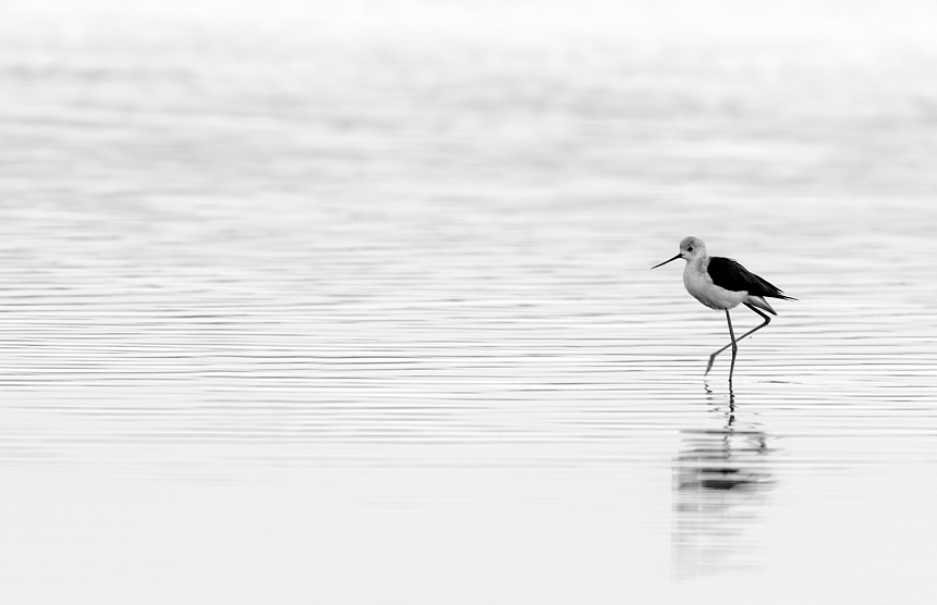 Black-and-white capture of an elegant black-winged stilt (Himantopus himantopus).