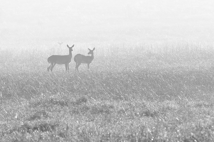 Black-and-white capture of a group of southern reedbuck (Redunca arundinum).