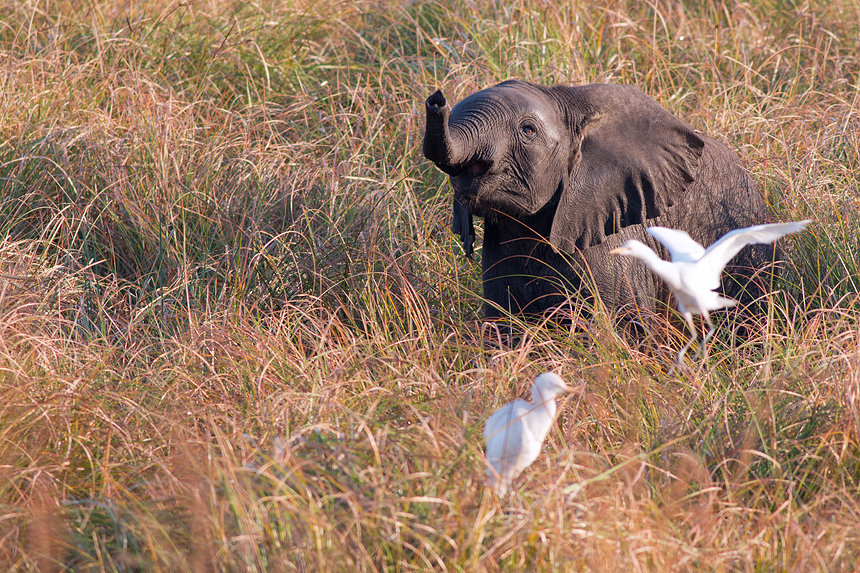 This young African bush elephant (Loxodonta africana) didn't appreciate the cattle egret using his back as a landing pad.