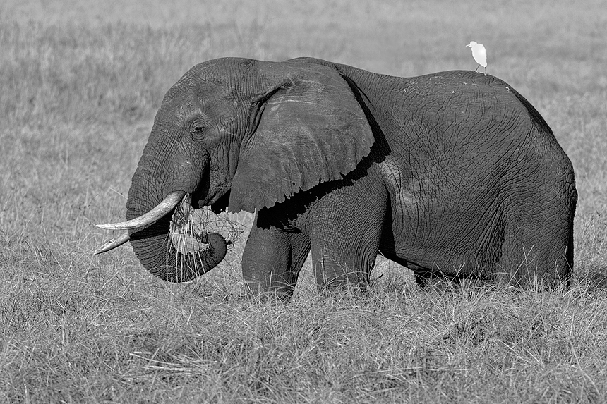 A massive bull African bush elephant (Loxodonta africana) at breakfast :)