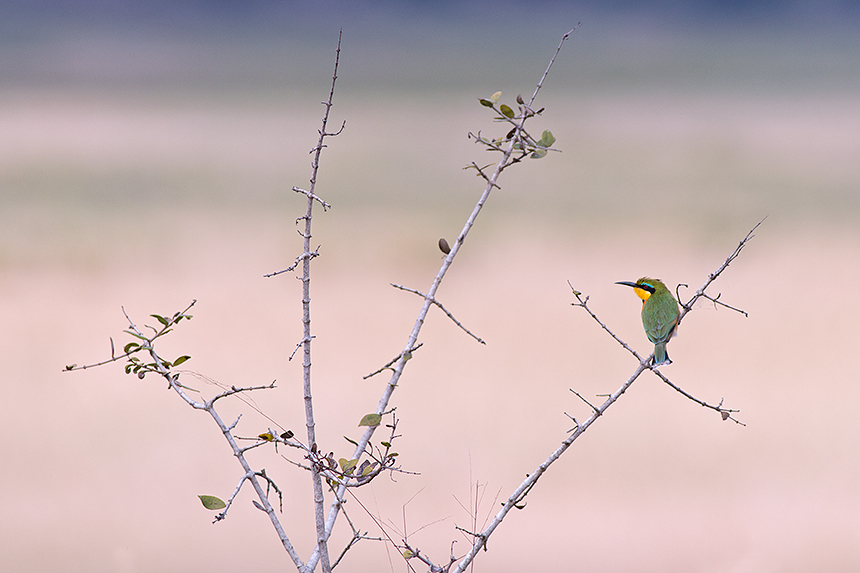 I love this shot of a little bee-eater (Merops pusillus): a bright splash of colour against a pastel coloured background.