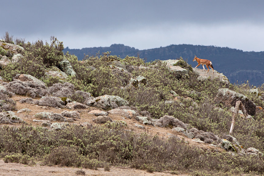 An Ethiopian wolf walking on a small ridge in Web Valley