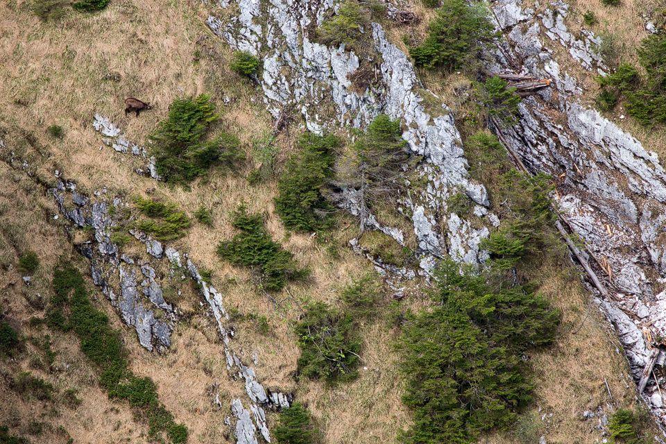 Find the chamois (Rupicapra rupicapra). Canon 5D Mark III, Canon 400mm f/5.6L USM, Canon Extender EF 1.4x III, 1/1250, f/8, iso 1250, tripod.