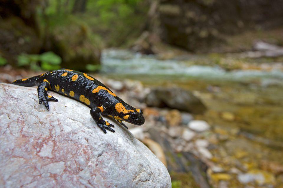 A gorgeous fire salamander (Salamandra salamandra). Canon 5D Mark III, Canon EF 17-40mm f/4.0 L USM, 1/125, f/5.6, iso 400, tripod + flash.