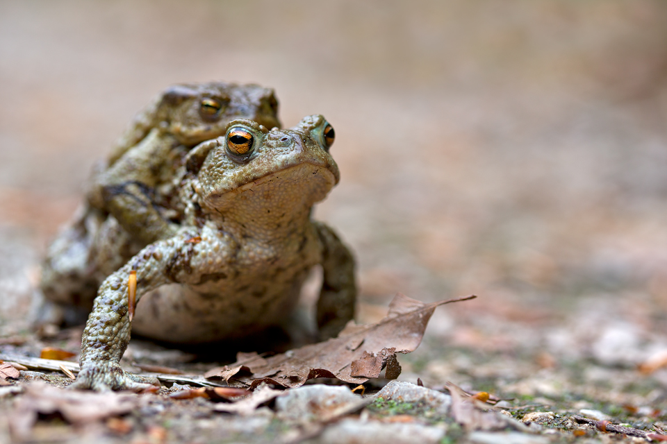 Common toads (Bufo bufo) in amplexus. Canon 5D MKIII, Canon EF 100mm f/2.8 USM Macro, 1/160, f/4, iso 100, handheld.