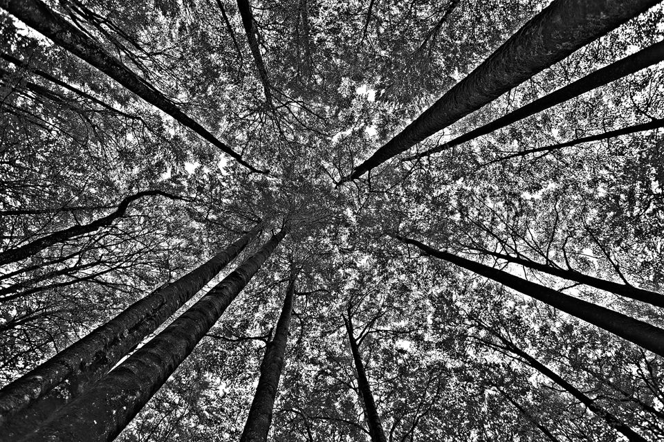 Forest canopy in black and white. Canon 5D Mark III, Canon EF 17-40mm f/4.0 L USM, HDR, f/5, iso 100, handheld.