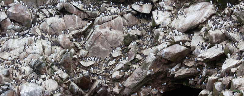 Panorama of Common Murres (Uria aalge) plastering the rock cliffs. Canon 50D, Canon EF 70-200mm f/4.0 L USM, 1/320, f/7.1, iso 250, handheld.