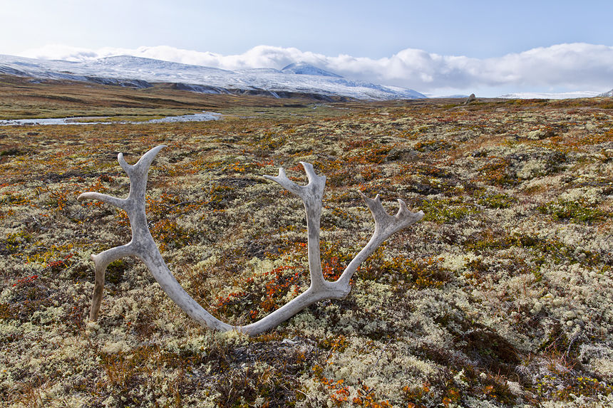 Antler of one of the last remaining wild Fennoscandian reindeer in Europe!