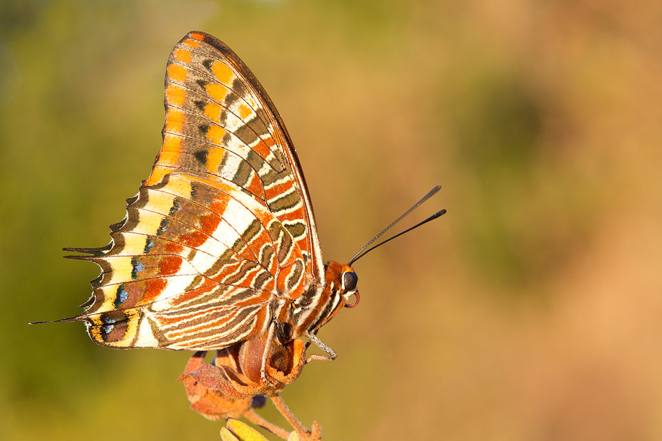 The stunning Foxy Emperor (Charaxes jasius). Canon 5D MKIII, Canon EF 100mm f/2.8 USM Macro, 1/100, f/10, iso 640, handheld.