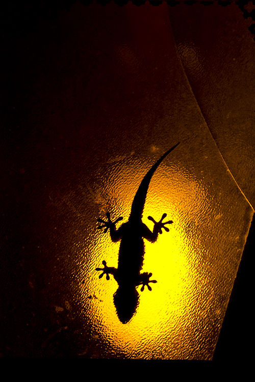 Moorish Wall Gecko (Tarentola mauritanica) on a street lantern. Canon 5D MKIII, Canon EF 400mm f/5.6 L USM, Canon Extender EF 1.4x III, 1/500, f/11, iso 400, tripod.