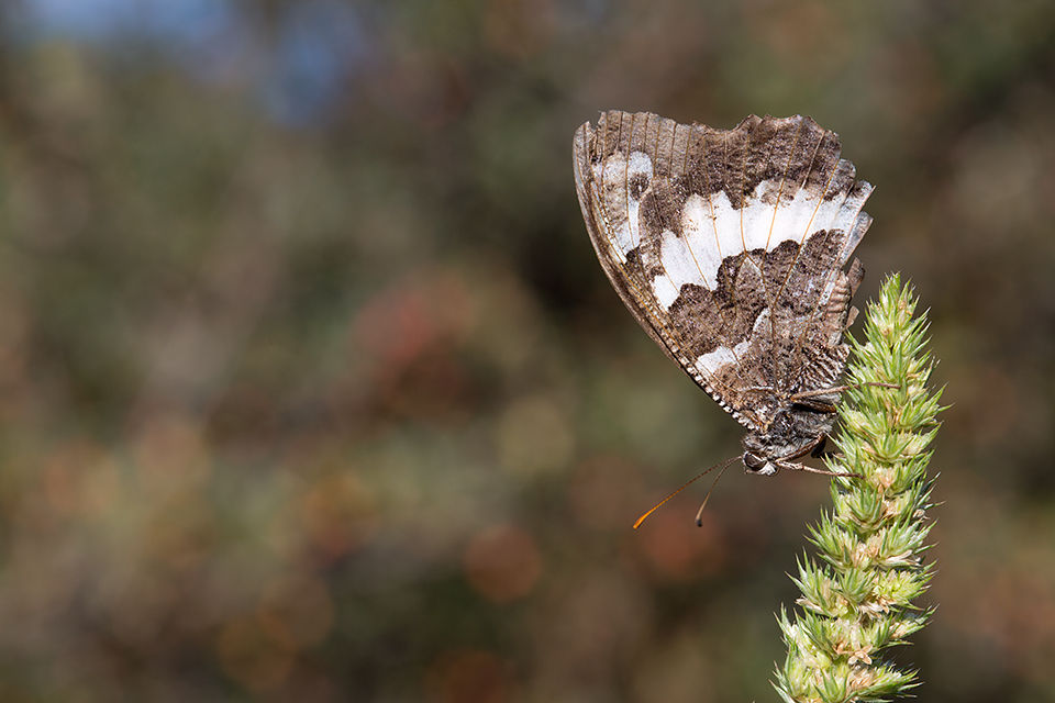 An Eurasian White Admiral (Limenitis camilla)? Canon 5D MKIII, Canon EF 100mm f/2.8 USM Macro, 1/100, f/10, iso 100, handheld.
