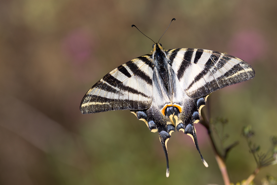 A delicate Scarce Swallowtail (Iphiclides podalirius). Canon 5D MKIII, Canon EF 100mm f/2.8 USM Macro, 1/320, f/5.6, iso 100, handheld.