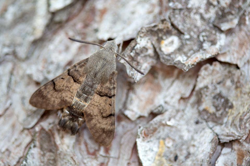 A Hummingbird hawk-moth (Macroglossum stellatarum). Canon 5D MKIII, Canon EF 100mm f/2.8 USM Macro, 1/50, f/2.8, iso 320, handheld.