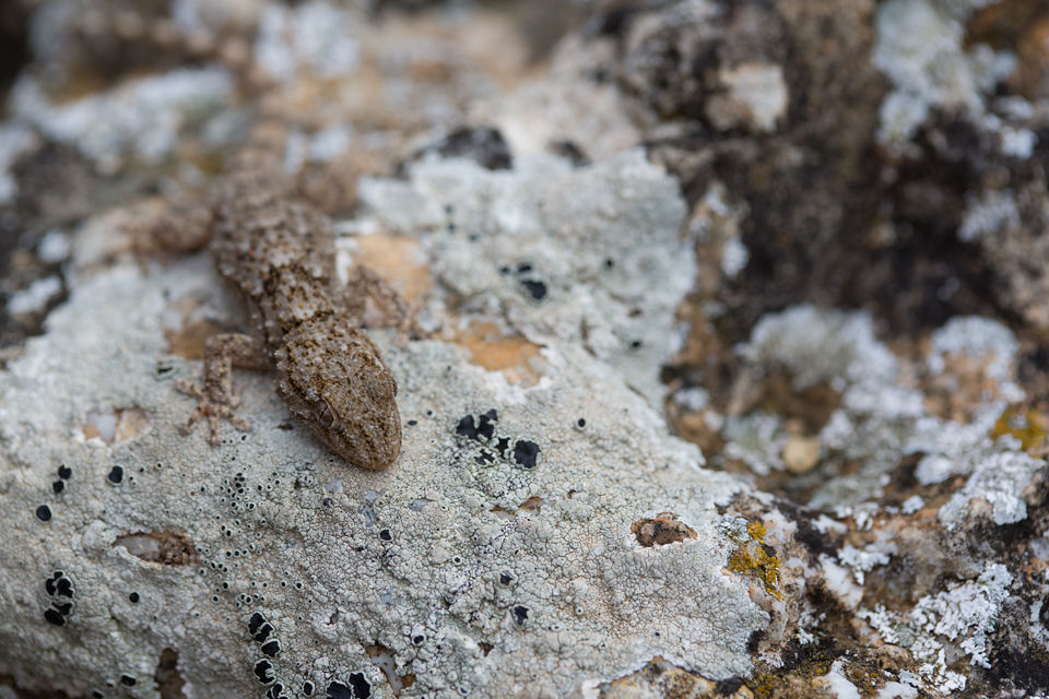Hidden among the rocks and lichens. Canon 5D MKIII, Canon EF 100mm f/2.8 USM Macro, 1/250, f/4.5, iso 320, handheld.