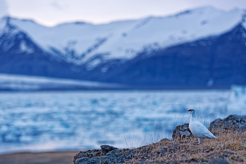 A male rock ptarmigan (Lagopus muta) in front of the Jökulsárlón glacial lake.
