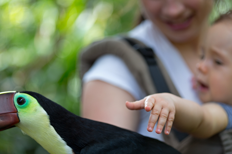 Petting a chestnut-mandibled toucan (Ramphastos ambiguus swainsonii) in Costa Rica.